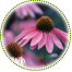 "<a href=""http://www.euromed.es/euromed/echinacea-dry-extract/"">Echinacea Dry Extract</a>"