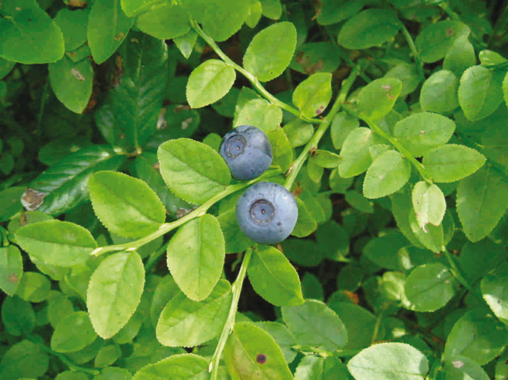 Bilberry plant Euromed