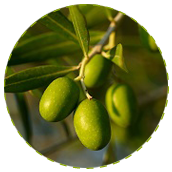 "<a href=""https://www.euromed.es/euromed/mediteanox/"">Olive Fruit Extract</a>"