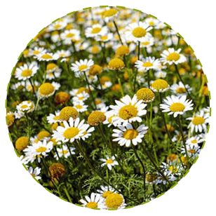 """<a href=""""https://www.euromed.es/euromed/matricaria/"""">Matricaria Flower Dry Extract</a>"""